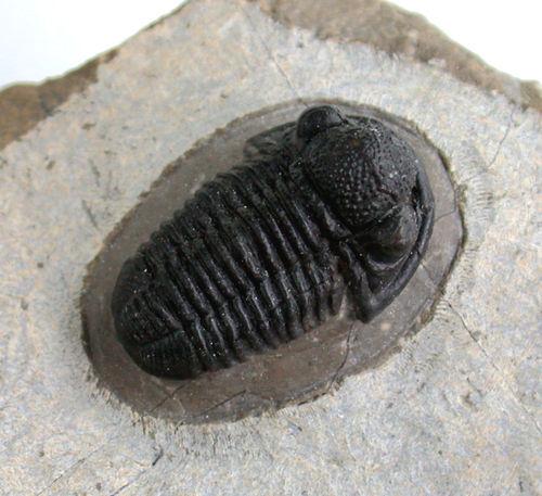 Fossile Trilobite Calymene Naturosph/ère Min/éraux et fossiles C21 Taille 5 /à 6 cm